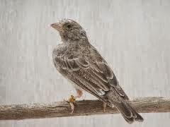 Cara praktis memaster burung kenari menggunakan masteran edel sanger