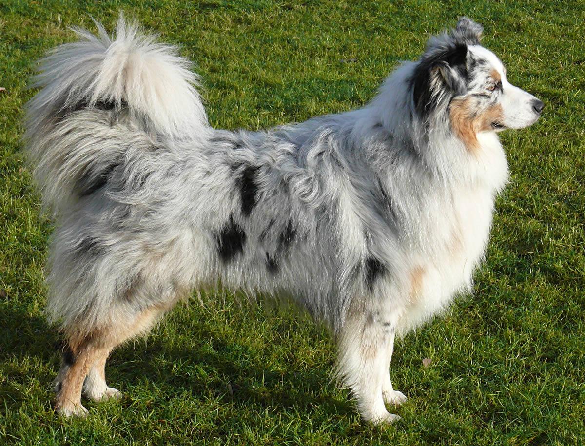 Australian Shepherd Breed Profile Australian Dog Lover