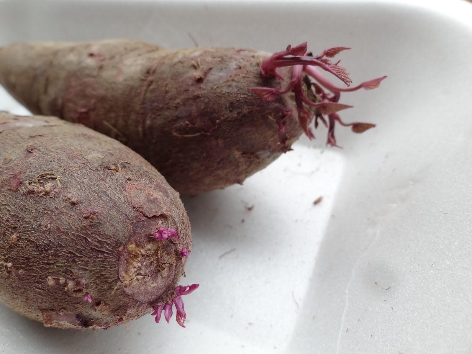 And Finally I Have A Of Small Purple Sweet Potatoes That Started To Sprout Am Going Try Growing Some Slips