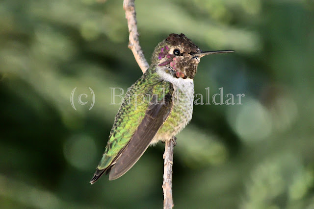 Anna's Hummingbird resting on a branch