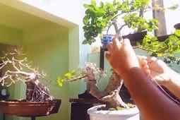 Cara Mudah MenSteak Pohon Supaya Cepat Tumbuh