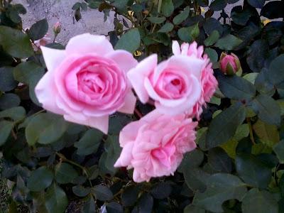 Prelijepe i bujne ruže