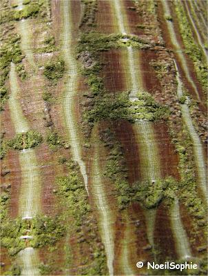 Ecorce Acer rufinerve