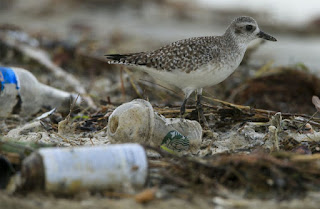 shorebird, plastic pollutions, California