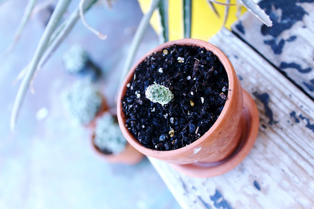 A photo of a thimble cactus pup planted 29 December 2017