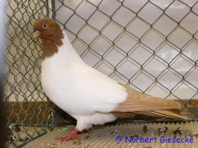 nun pigeons - pigeon tumblers
