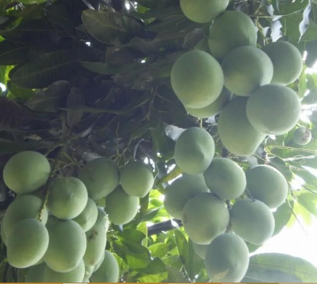 Cara Membuat Pohon Mangga Berbuah Sepanjang Tahun