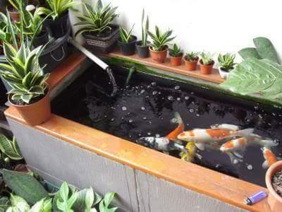 pemburu sepit biru: koleksi kolam ikan hiasan rumah.