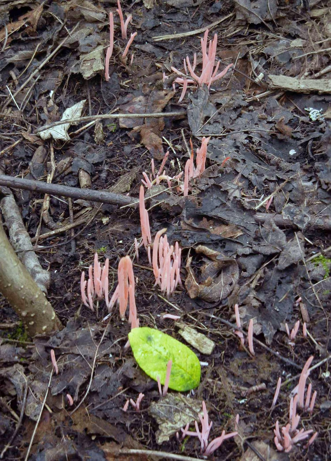 The pink worm coral, Clavaria rosea