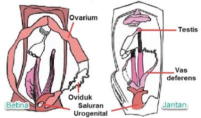 Organ Reproduksi Ikan - berbagaireviews.com