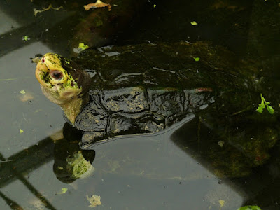 Catatan khusus kura-kura Yuwonoi