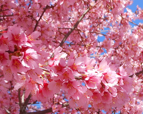 Pink Cherry Blossoms Photo by Aquariann