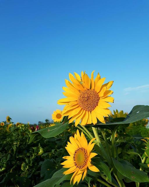 kebun bunga matahari pantai samas