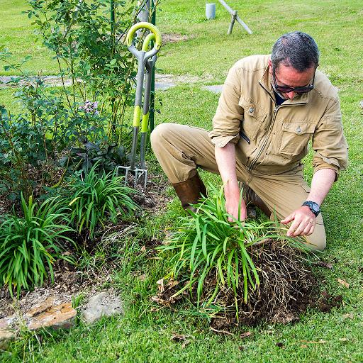 アガパンサスの根茎