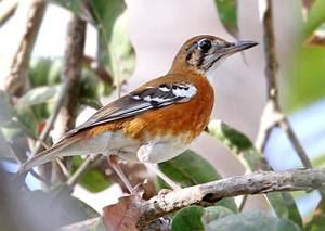 burung anis cendana