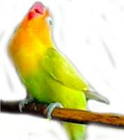 Lovebird Ngekek Kasar