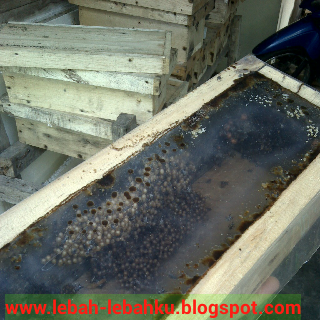 cara ternak klanceng trigona jawa barat timur kalimantan sumatra