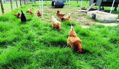 HenSafe chickens