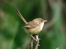 Female_Red-backed_Fairywren.JPG
