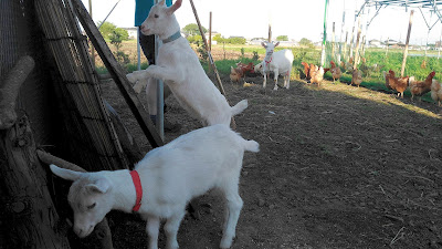 Baby goats attacking a chicken coop.