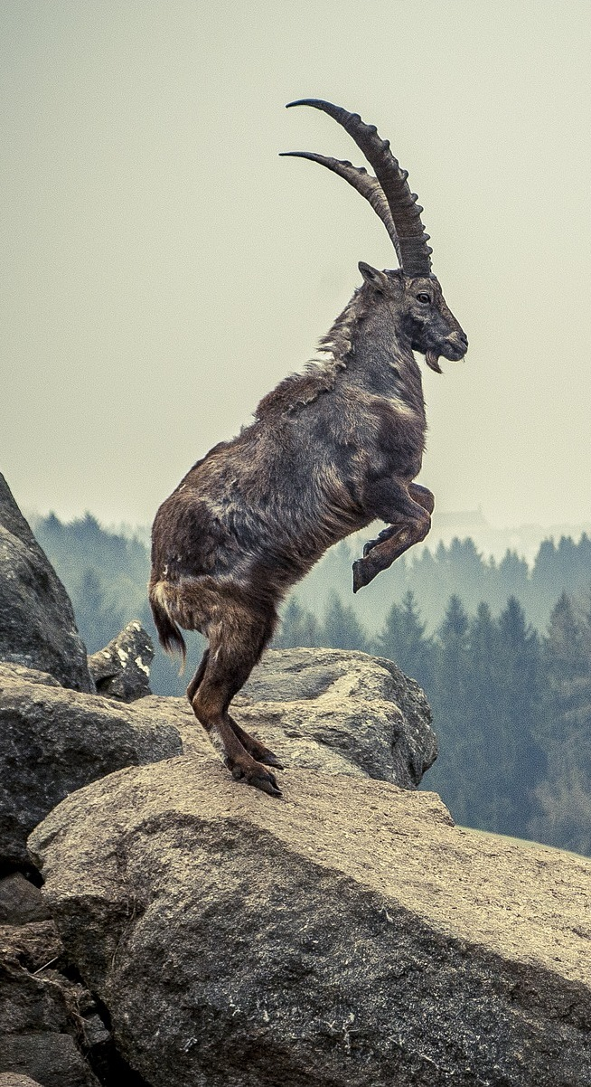 Picture of an alpine ibex.