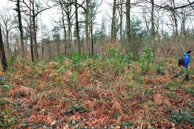 Colonisation rapide par les Lauriers cerises en Forêt de Fontainebleau à la Croix d'Augas