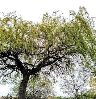 Willow tree, River Exe, dog walking