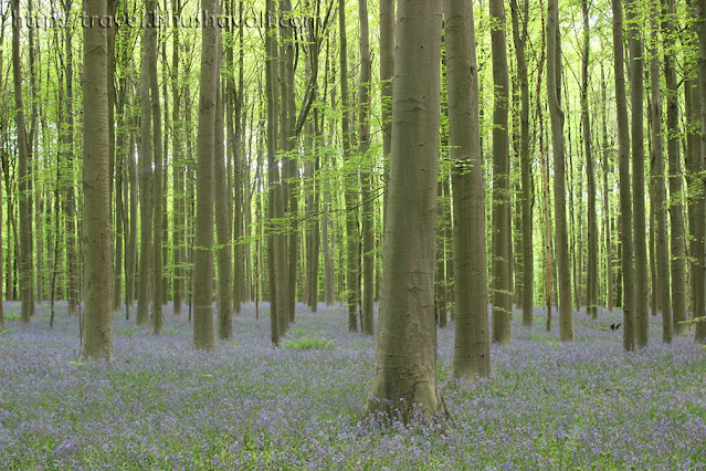 Hallerbos Hyacinten Mystical Blue Forest of Belgium