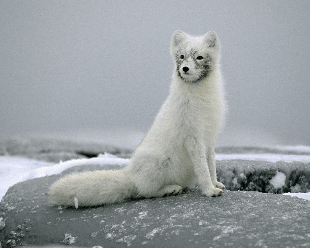animals amazing wallpapers dog animal backgrounds awesome desktop fox wild anime arctic artic renard looking snow