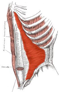transverse abdominis muscle, transversus abdominis