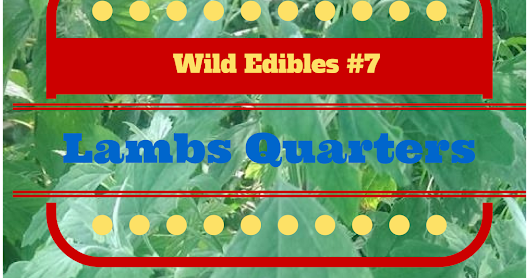 Wild Edibles Wednesday: Lambsquarters