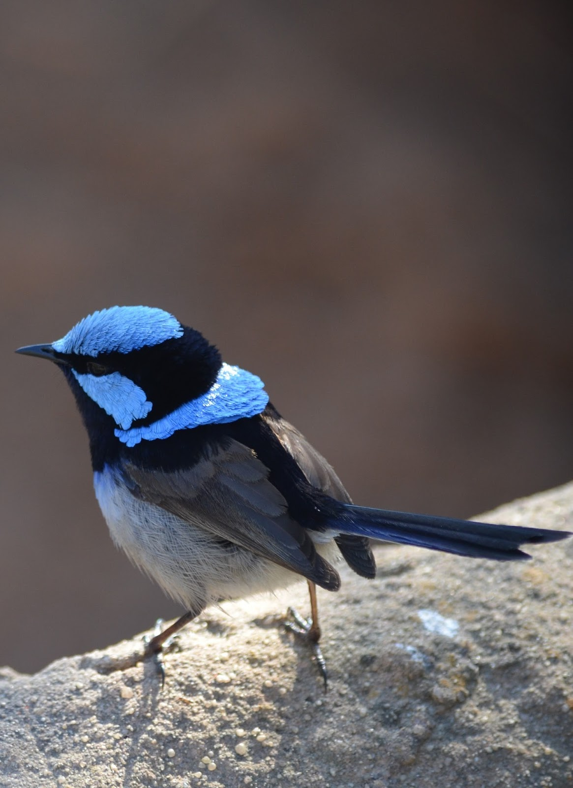 Photo of a blue wren bird.