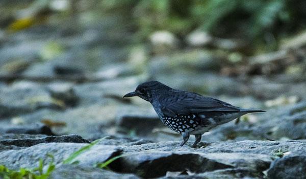 Burung Anis Hutan