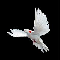 Devlet kuşunu anlatan boynunda bayrak olan uçan bir beyaz güvercin