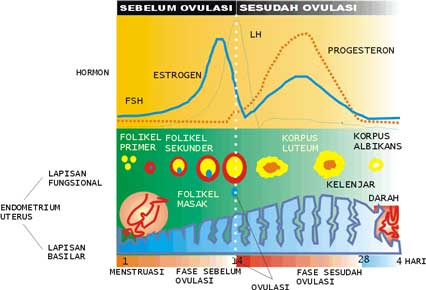 Begini Fase dan Siklus Menstruasi pada Wanita