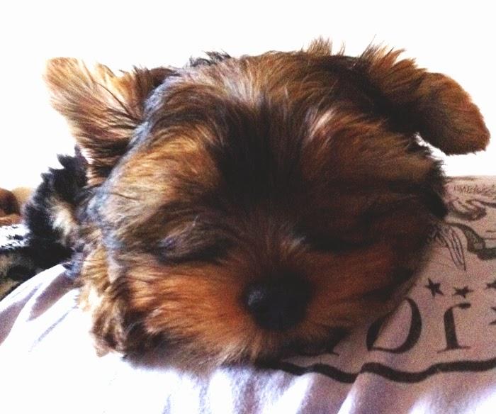 yorkshire dormindo