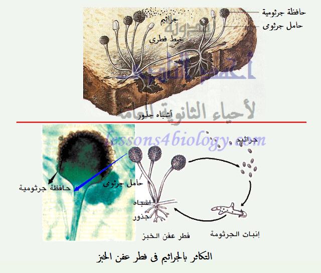 فطر عفن الخبز - التكاثر بالأبواغ - التكاثر بالجراثيم