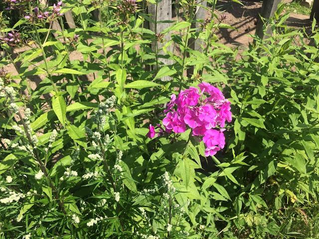 Выращиваем цветы на своём огороде