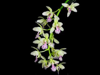 Sedirea japonica care and culture