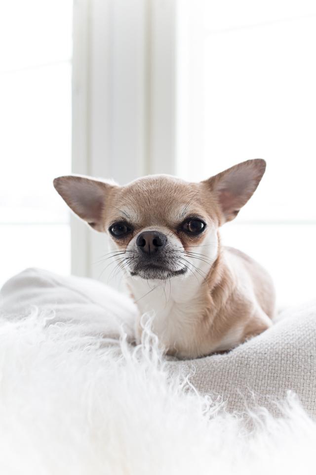 chihuahua, koira
