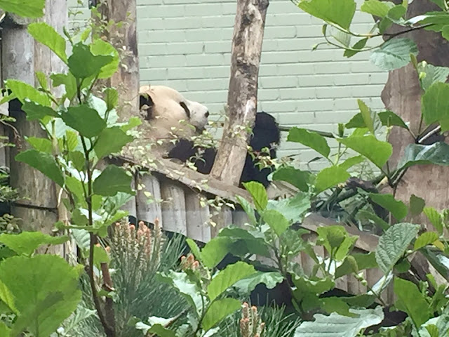 male panda at Edinburgh Zoo eating bamboo