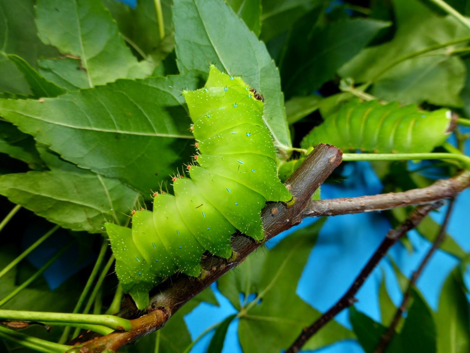 Actias sinensis caterpillar