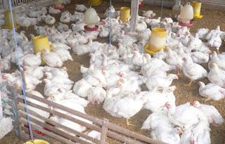 Ternak-Ayam-Daging