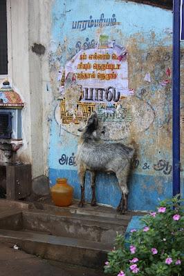 chèvre dans la rue au tamil nadu