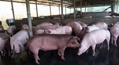 Ngành chăn nuôi heo hơi Trung Quốc rơi vào khủng hoảng giá