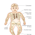 Vitamin D deficiency disorders,Rickets, Osteomalacia, Hypervitaminosis D