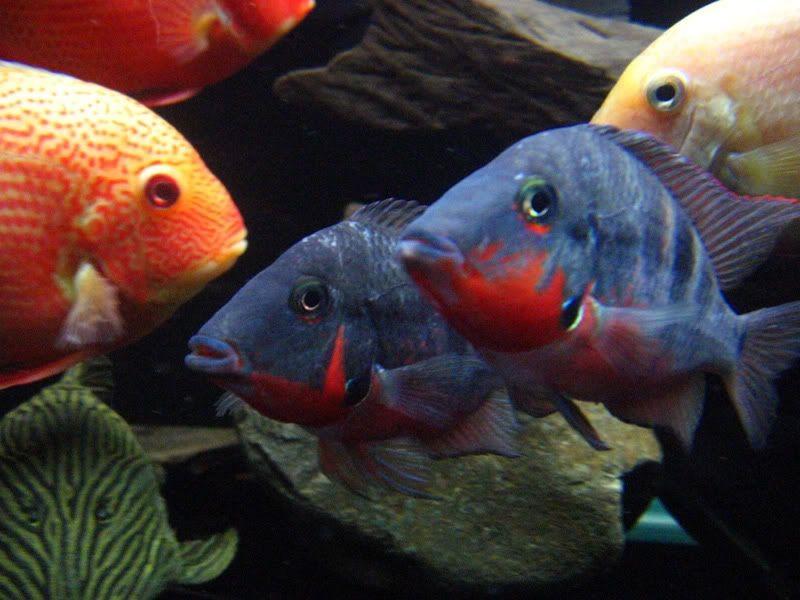Gambar Ikan Hias Mata Api (Firemouth Cichlild)