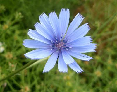 Flor azul cielo de la achicoria (Cichorium intybus)