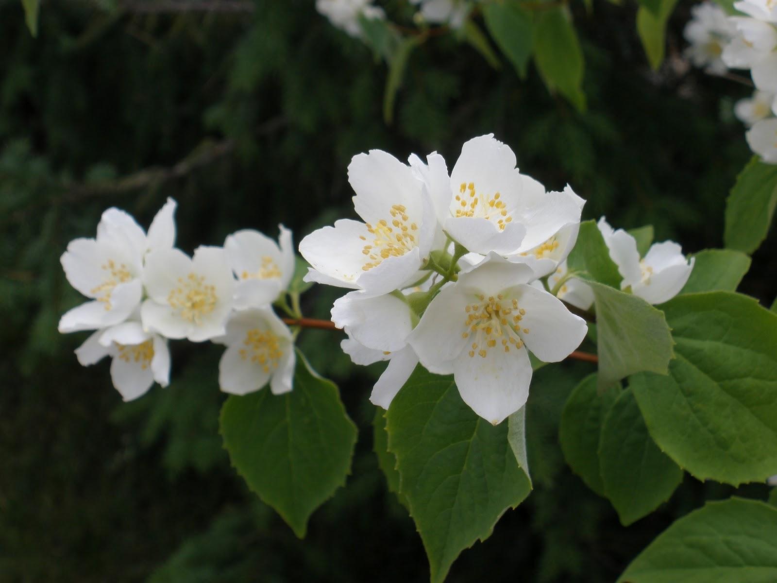 Jasmiinin Kukka