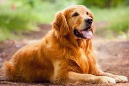 Mengapa Anjing Suka Mengeluarkan Lidahnya?